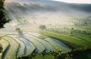 Rice Paddy Sunrise
